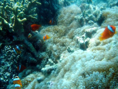 Moalboal Corals  source:http://bonitaoasis.com/about-moalboal