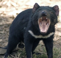 Tasmanian Devil thanks to Wayne McLean/Wikipedia