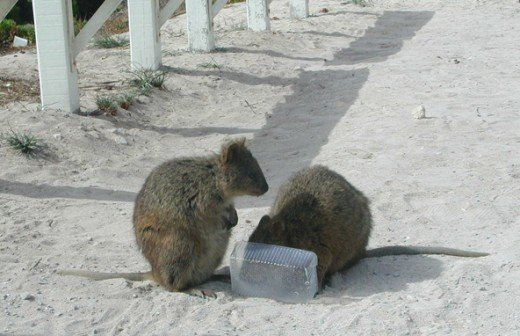 Quokka's only seen on Rottnest Island