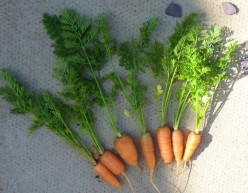 photo - carrots make a tasty ingredient for vegetable soup.