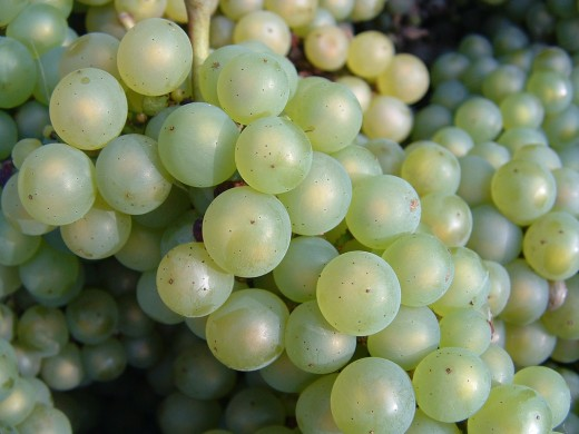 Chardonnay grapes wikimedia