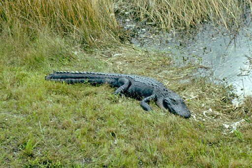 alligator in Everglades