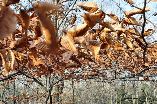 This branch of beech leaves created a shelf of sorts in a woods now mostly void of leaved trees.