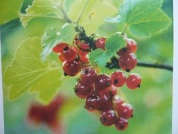 What are cranberries and how do they work with the treatment of Urinary Tract Infections. UTI'S