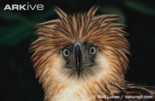Philippine Eagle (Pithecuspagus)),the King of Philippine Skies