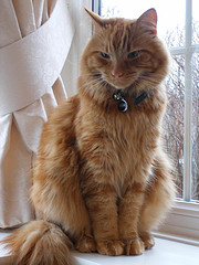 Another fine example of a Marmalade Cat. All photos courtesy of Flickr.