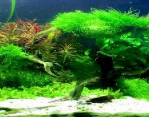 Aquarium Algae