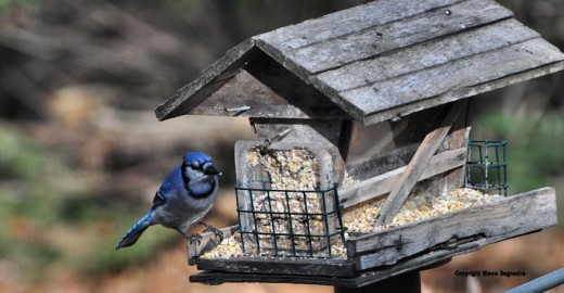 A bluejay prepares to dine on the suet at the feeder. They've been coming around five to six at a time.