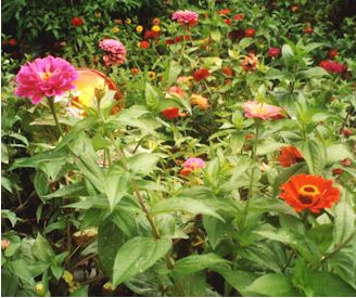 A border of mixed Zinnias looks well in a country garden.