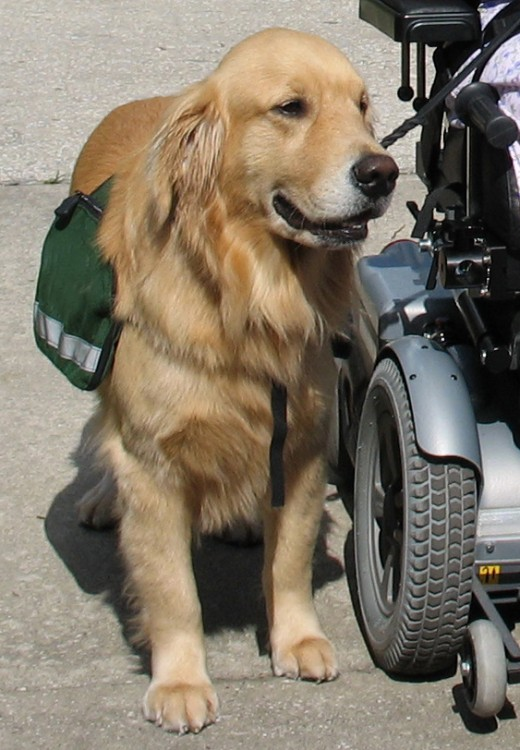 Golden Retrievers are a common breed for service dogs, but there is no breed or species requirement for animal assisted therapy.