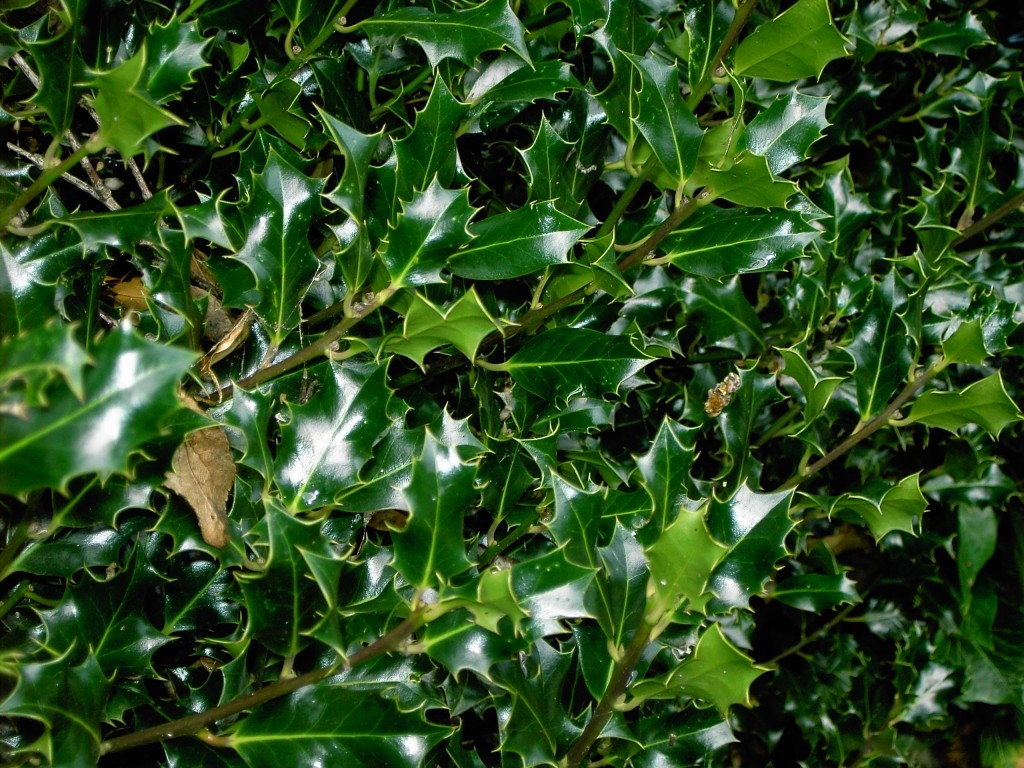A Prickly Subject Are Holly Leaves Hubpages