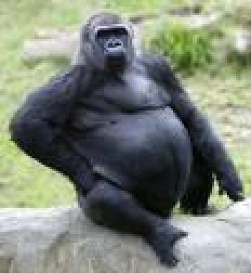 Gorilla.  Look at his fat store in the abdomen.      kjonah.instablogs.com