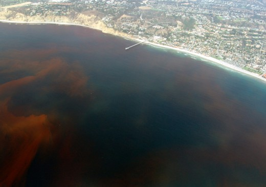 Dead zones are often caused by the decay of algae during algal blooms, like this one off the coast of La Jolla, San Diego, California. Courtesy : Wikimedia Commons