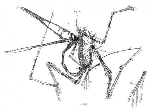 Fossil of Pterodactylus Antiquus.