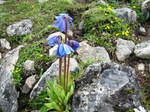 Bhutan National flower