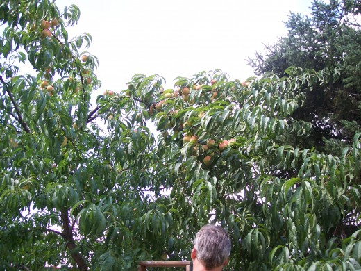 My Peach Tree fully loaded with peaches.