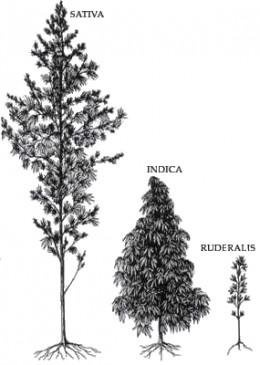 Cannabis Sativa, Indica, & Ruderalis. Image credit Wikicommons.