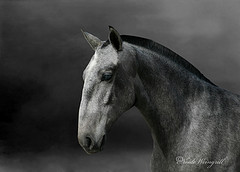 Fine example of a Roman Nosed Lusitano Stallion