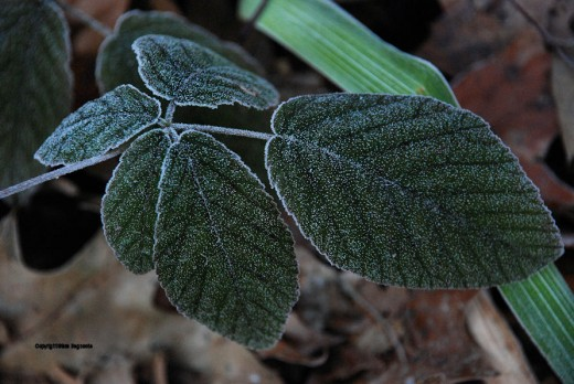 The leaves of one of the few plants still green were coated in a light frost this morning.