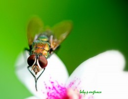 blowfly (greenbottle)