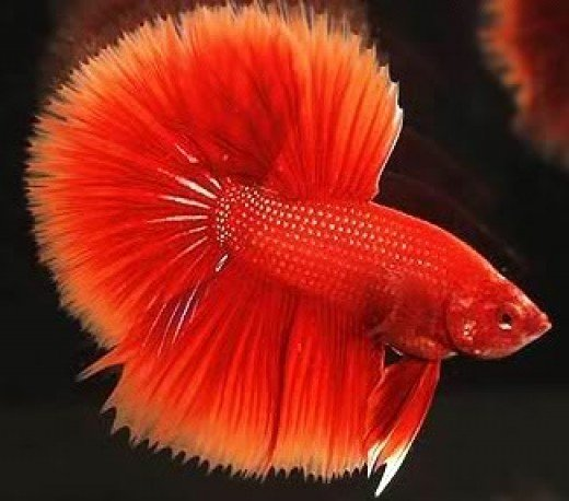 Red Betta male HF