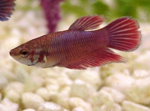Female Betta - (photo bucket)