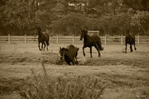 Friesians frolic in their Field
