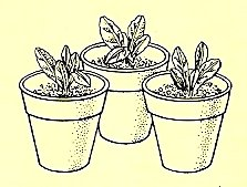 6. When new plants have 2 or 3 new leaves, pot them separately in small pots.