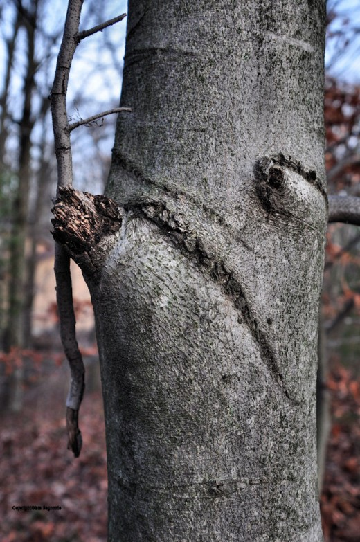 It it an Ent? A face? Just a beech? You decide.