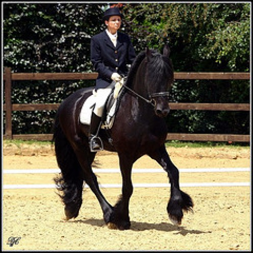 Dressage is becoming more and more popular for Frisians with great success.