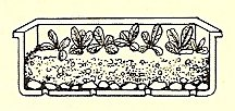 4. When seeds germinate, bring them into light and remove glass cover.