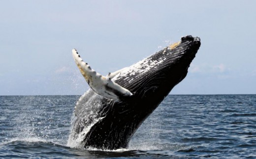 Whales are seen regularly at off the coast of Byron Bay