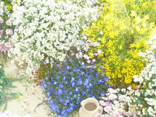 Christmas bush flowers