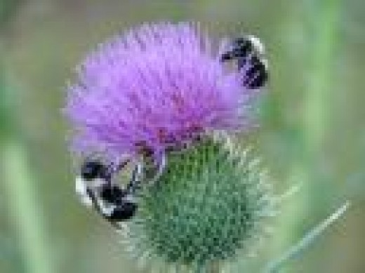 Bumblebees are in danger in most developed countries due to destruction of their natural habitat, hedgerows, and the widespread use of pesticides which have destroyed many of the wildflowers. In the United Kingdom,