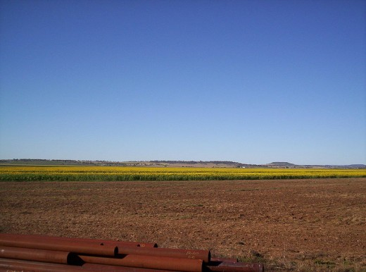 A crop of sunflowers on the Darling Downs.