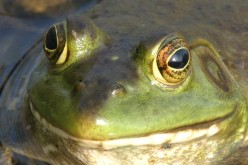 Frog Gigging- An Introduction to a Purely Backwoods Pastime