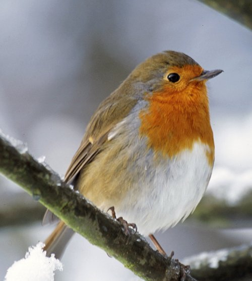 ROBINS ARE ADORED IN THE UK WERE THEY BECOME VERY TAME-A CONSTANT COMPANION DURING THE WINTER MONTHS.