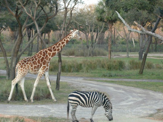 Giraffe and Zebra at Animal Kingdom Lodge