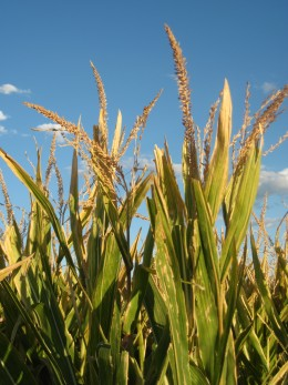 Corn Awaiting Harvest