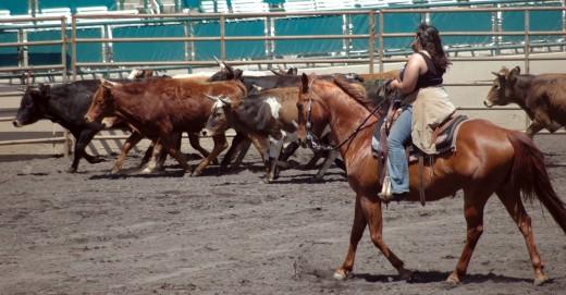 Herd cattle.