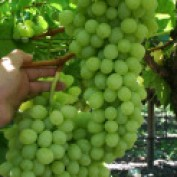 Growing Grapes 15 profile image