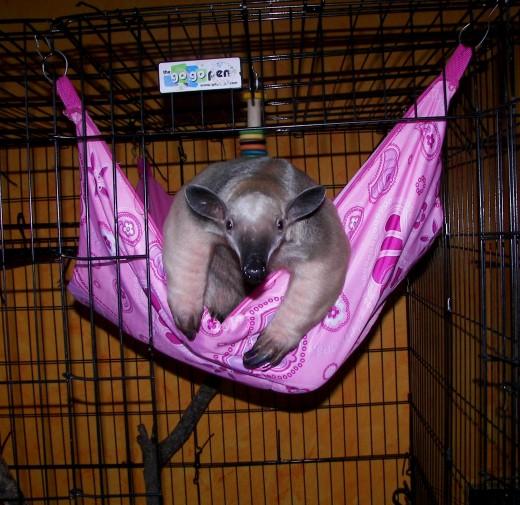 Stewie in the pocket hammock