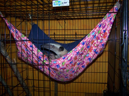 Stewie in their last hammock, made with a baby blanket as bottom