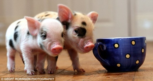 "The cuddly micro pig which is sweeping UK with their enormous ""cute pig appeal."" Picture from www.dailymail.co.uk"