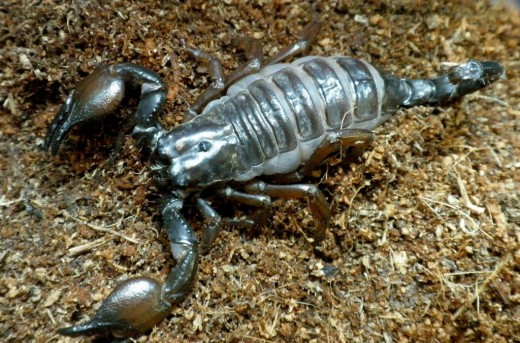 Care to have a pet like a scorpion, but be careful with its pincers and stings though for they are armed with venoms hehehe that could surely give you a resounding pain...