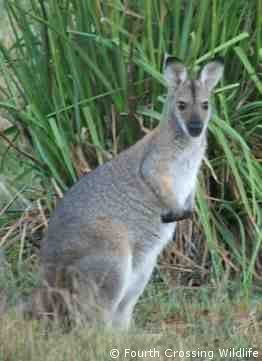 The under-sized kangaroo - the Wallaby of the Australian Outback...