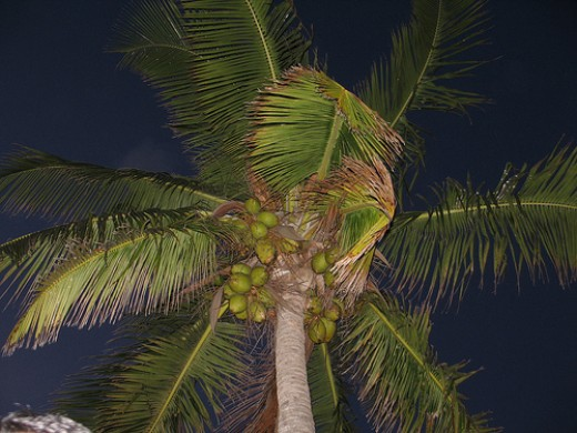 Coconut Palm In Key West Florida