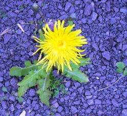 Gardening: Weeds use Them and Lose Them