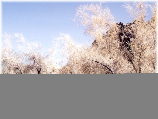 """This lacy tree is nicknamed """"smoke tree.""""  Viewed from a distance it looks like smoke!"""