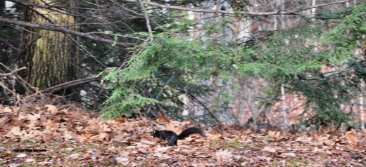 With acorn meat in its mouth, a black squirrel runs for cover.